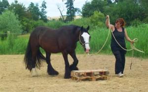 Penser à donner de la longe lorsque vous manipuler votre  cheval !